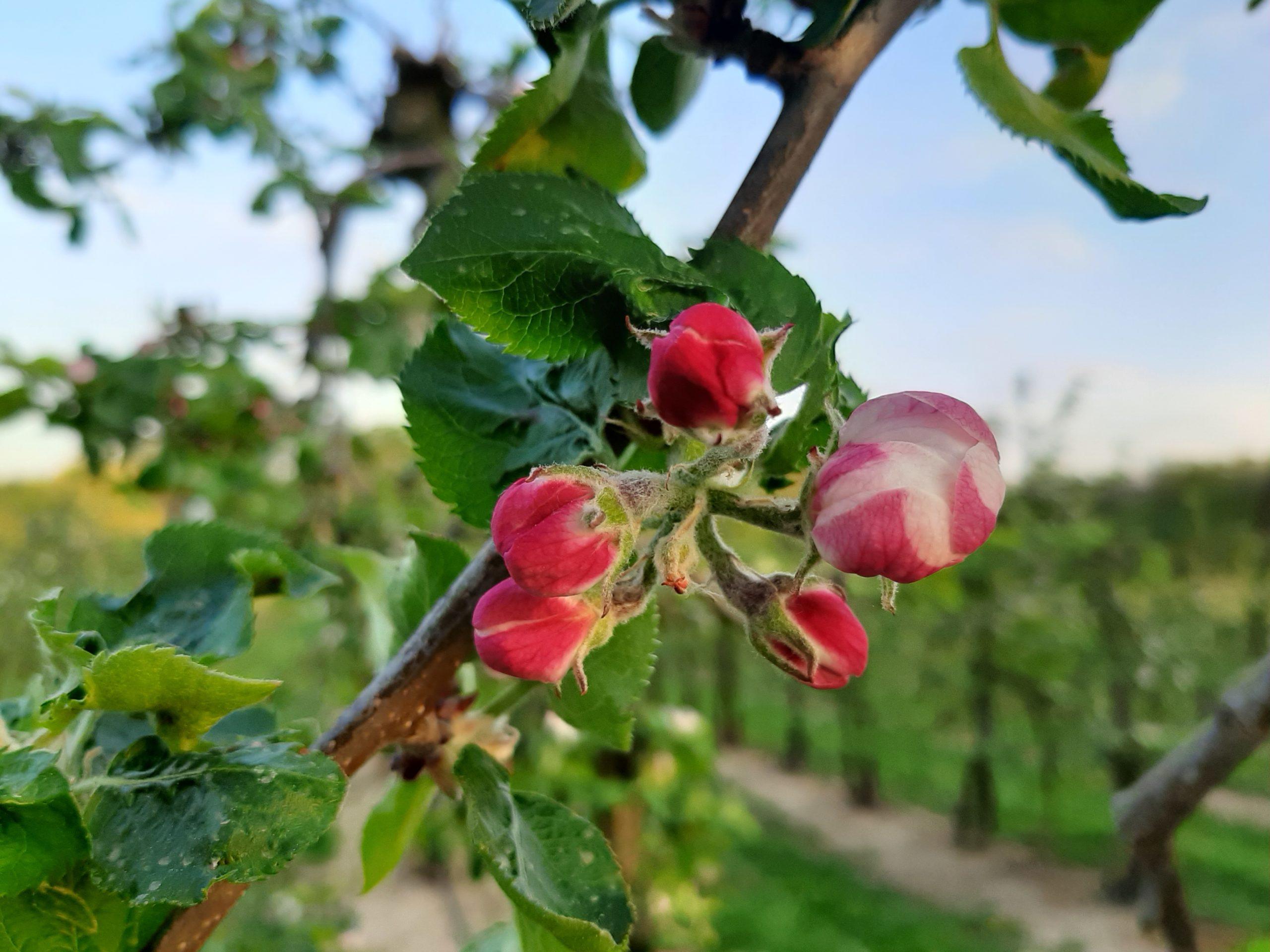 Entfaltung einer Apfelblüte