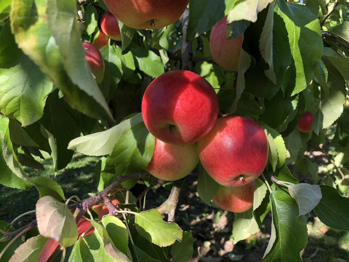 rote Äpfel hängen an einem Baum