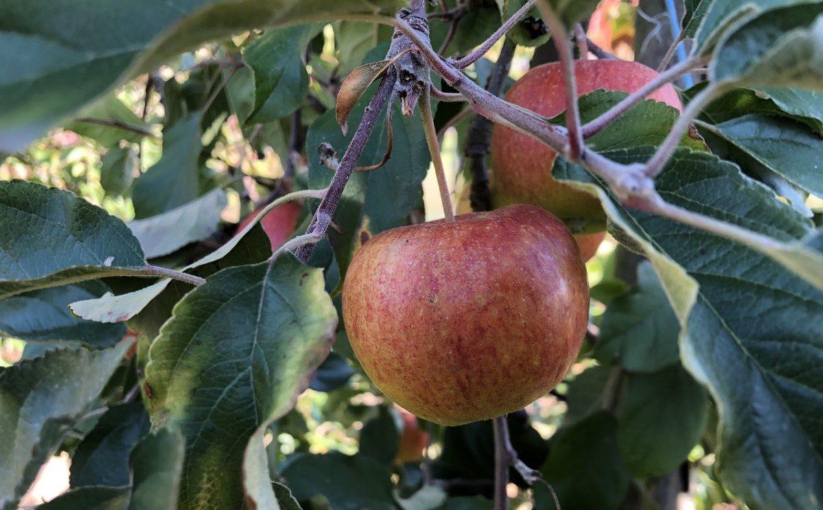 Äpfel an einem Apfelbaum